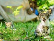 El gatito de pelo corto nacional está silbando Foco selectivo en su cabeza Imagenes de archivo