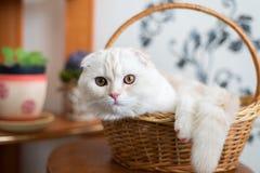 El gatito del doblez del escocés se sienta en cesta de mimbre en sitio imágenes de archivo libres de regalías