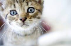 El gatito del gato atigrado de Brown con los ojos azules se cierra para arriba Fotografía de archivo