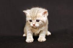 El gatito divertido en un fondo oscuro, gatito británicos cría Fotografía de archivo libre de regalías