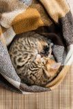 El gatito encrespó para arriba en vuelo la visión dormida desde arriba, un lugar para una inscripción abajo Imágenes de archivo libres de regalías