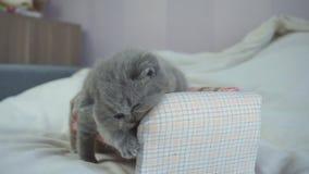 El gatito escocés juega en un pequeño sofá almacen de metraje de vídeo