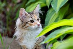 El gatito femenino del gato noruego del bosque entre el hosta hojea Foto de archivo