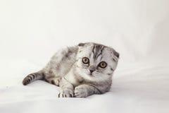 El gatito gris de orejas ca3idas británico está mintiendo Foto de archivo libre de regalías
