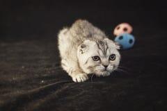 El gatito gris de orejas ca3idas británico se está escabulliendo para arriba fotos de archivo