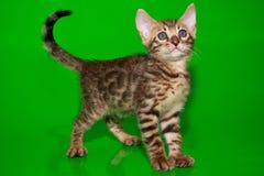 El gatito hermoso de Bengala está mirando para arriba Imagen de archivo