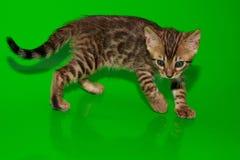 El gatito hermoso de Bengala se está colocando en un fondo verde Foto de archivo libre de regalías
