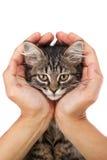 El gatito joven miente en las manos Imágenes de archivo libres de regalías