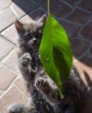 el gatito juega la hoja Imagen de archivo libre de regalías
