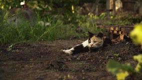 El gatito multicolor lindo miente en la tierra en el jardín en luz de la puesta del sol almacen de video