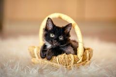 El gatito negro que se sentaba en una cesta dobló sus patas delanteras edad 1 MES Fotografía de archivo libre de regalías
