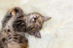 El gatito que duerme en la piel suave Imágenes de archivo libres de regalías