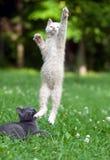 El gatito que salta y que juega Fotos de archivo