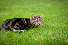 El gatito rayado está cazando en hierba fresca Fotos de archivo libres de regalías
