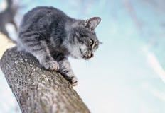 El gatito rayado lindo hermoso desciende de alto árbol abajo en th Fotos de archivo libres de regalías