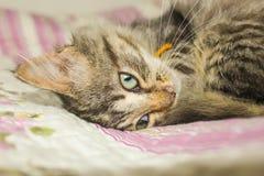 El gatito rayado se encrespó para arriba en la cama El gatito duerme en el th Fotografía de archivo