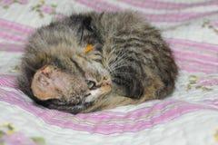 El gatito rayado se encrespó para arriba en la cama El gatito duerme en el th Imagenes de archivo