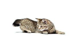 El gatito recto escocés de la raza caza para su cola Foto de archivo