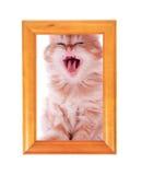 El gatito rojo bosteza sentándose en un marco de madera Imagen de archivo libre de regalías
