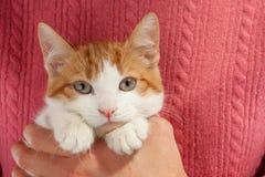 El gatito rojo joven se sienta en las manos Foto de archivo libre de regalías