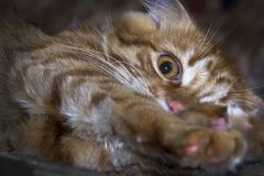 El gatito rojo, juguetón miente estirando sus patas Fotos de archivo