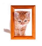El gatito rojo mira hacia fuera de un marco de madera Foto de archivo