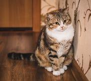 El gato abigarrado lindo se está sentando en el piso de madera Imagen de archivo libre de regalías
