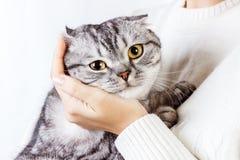 El gato abraza la mano de una muchacha Suéter hecho punto con un gatito lindo Gatito escocés fotos de archivo libres de regalías