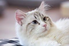 El gato adorable tiene ojos azules Foto de archivo