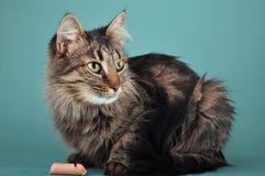 El gato adulto come una salchicha del franfurter Fotos de archivo