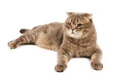 El gato adulto del doblez del escocés miente en el fondo blanco Imagenes de archivo