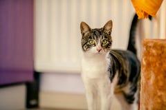 El gato adulto examina el territorio Foto de archivo libre de regalías