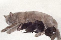 El gato amamanta gatitos Imágenes de archivo libres de regalías