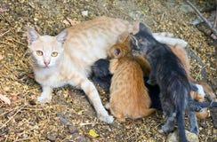 El gato amamanta gatitos Foto de archivo libre de regalías