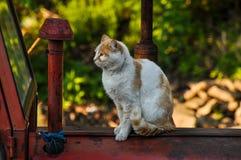 El gato amarillo blanco se sienta en un tractor rojo en naturaleza Animal dom?stico outdoor foto de archivo libre de regalías