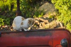 El gato amarillo blanco se sienta en un tractor rojo en naturaleza Animal dom?stico outdoor fotografía de archivo