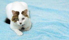 El gato animal del animal doméstico Fotos de archivo libres de regalías