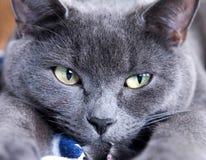 El gato azul británico que se acostaba, las patas delanteras hacia fuera estiró hacia el th Imagen de archivo