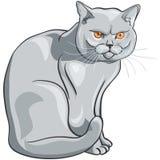 el gato azul británico se sienta y mira seriamente Foto de archivo