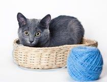 El gato azul ruso en una cesta al lado de una bola Imágenes de archivo libres de regalías