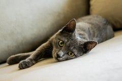 El gato azul ruso, gatito miente en el sofá Fotos de archivo