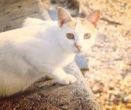 El gato blanco Fotos de archivo libres de regalías