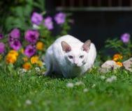 El gato blanco Fotografía de archivo libre de regalías