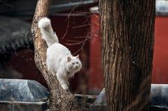 El gato blanco Fotografía de archivo
