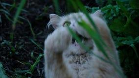 El gato blanco coge la hierba con la boca abierta, roe y come el primer fresco de la hierba, cámara lenta almacen de video