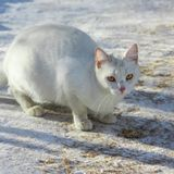 El gato blanco de la calle está comiendo una chuleta gato sin hogar, año Fotografía de archivo