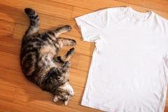 El gato blanco de la camiseta y de gato atigrado en el piso de madera, imita para arriba, espacio libre Fotografía de archivo libre de regalías