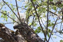 El gato blanco dormido en la rama de la manzana florece Imagen de archivo