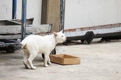 El gato blanco en Tailandia está caminando imagen de archivo libre de regalías