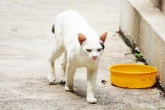 El gato blanco en Tailandia está caminando fotografía de archivo libre de regalías